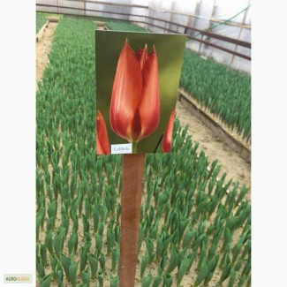 Голанские тульпаны оптом к 8 марта 2020