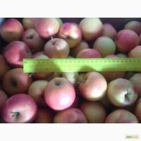 Яблоки ортом 1 сорт от 24, 5
