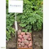 Семнной картофель Рэд Скарлет