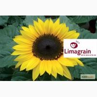 Подсолнечник гибридный (Limagrain) ЛГ 5452 ХО КЛ (новинка)