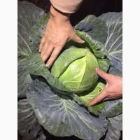 Капуста оптом (урожай 2017)
