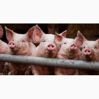 Свинки розовые