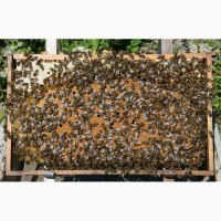 Пчелопакеты карпатки в Санкт-Петербурге