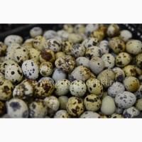 Продам Яйцо перепелиное, упаковка 20 шт