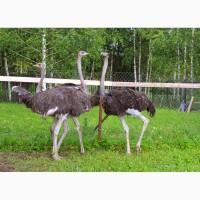 Самки африканского страуса