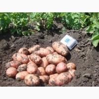 Молодой картофель 2019г от хозяйства ООО ТРИО