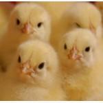 Продаю цыплят бройлеров Кобб 500