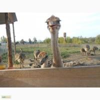 Африканский страус, страусята