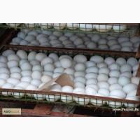 Реализуем яйцо инкубационное утиное