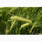 Продам: Семена ячменя Нур и Аннабель