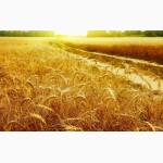 Продаем пшеницу 4 класса