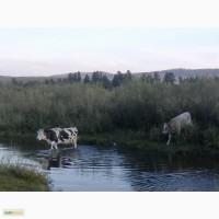 Продам корову и тёлку