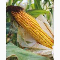 Гибриды семян кукурузы Ладожские. Ладожский 341 МВ