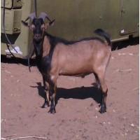 Продам породистых козлов