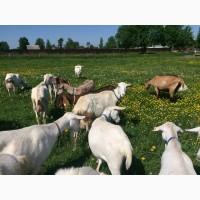 Дойные козы зааненской породы