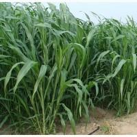 Семена суданской травы Кинельская 100, РС1