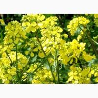 ООО НПП «Зарайские семена» реализует семена редьки масличной оптом