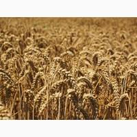 Семена пшеницы яровой Омская 36 (ЭС, РС-1)