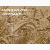 Семена твердой пшеницы ZELMA канадский ярый трансгенный сорт, элита