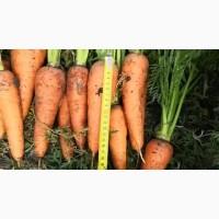 Морковь опт