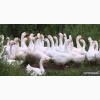 Продаем гусей