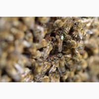 Пчелопакеты Карника