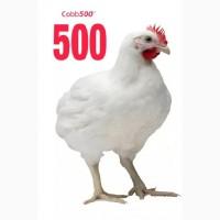 Инкубационное яйцо бройлера Росс-308, Кобб-500, Кобб-700 Европа, Россия