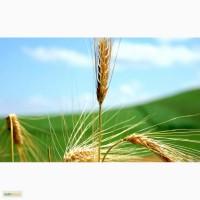 Пшеница 5 класса мягких сортов с клейковиной 16%