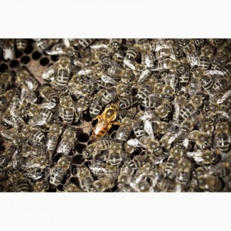 Карника (краинка) и карпатка пчелопакеты в Санкт-Петербурге недорого