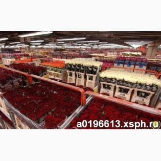 Розы оптом, Новосибирск. 50, 60, 70 см