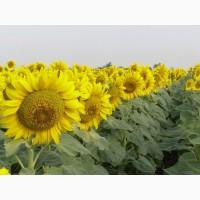 ООО НПП «Зарайские семена» закупает фуражное зерно: подсолнечник