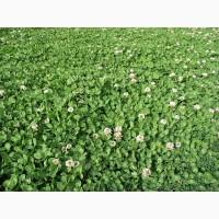 ООО НПП «Зарайские семена» продает семена клевера белого ползучего оптом и в розницу