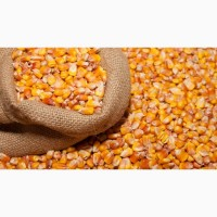 Продаю фуражную кукурузу