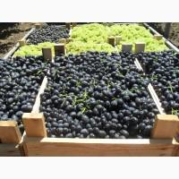 Высококачественный виноград Чарос оптом по доступным ценам от производителя