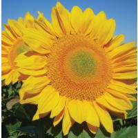 Семена подсолнечника сорт Казачий РС1