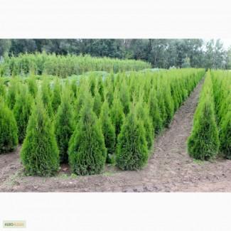 Ростовский лесхоз-сосны, ели, туи, клены, березы опт