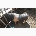Продается Вьетнамская свинья на расплод