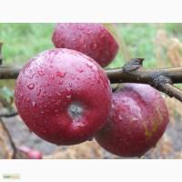 Свежие яблоки! Урожай 2016года!Атоновка, Ауксис, Лигол, Чемпион, Хани Крисп, Фридом