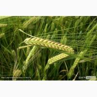 Продам: Семена ячменя Беатрис, РС2 пивоваренный (протравленные)