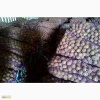 Картофель семенной: Гала, Ред Скарлет и другие сорта, оптом