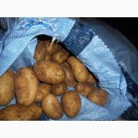 Картофель свежий 2018 Египет