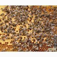 Продаю пчелосемьи возможна доставка по Тюменской области