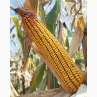 Гибриды семян кукурузы Ладожские. Ладожский 391 АМВ