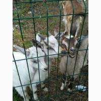 Продам дойных коз и козлят