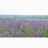 ООО НПП «Зарайские семена» продает семена козлятника