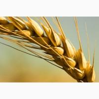 Семена пшеницы яровой Алтайская 70 (элита)