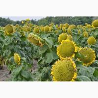 Семена подсолнечника кондитерского SATTON 136