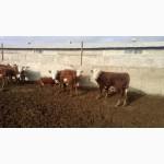 Казахская белоголовая бычки на откорм