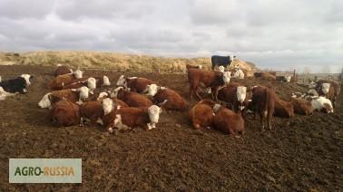 Фото 3. Продажа Казахская белоголовая бычки на откорм