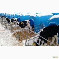 Продаются телята бычки мясной породы от 1-3 месяцев с доставкой в регионы бесплатной